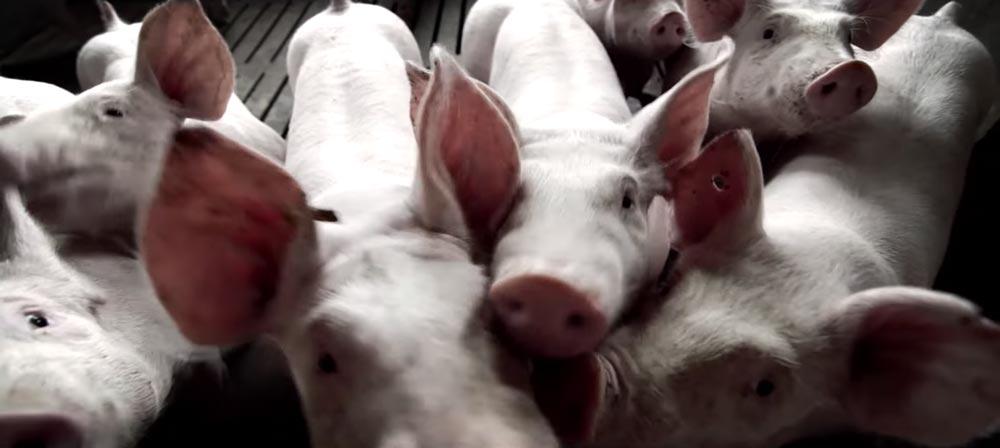 video corporativo sector porcino SinPalabras